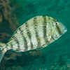 Sheepshead Porgy