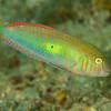Green Razorfish