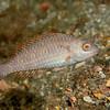 Greenblotch Parrotfish