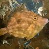 Pygmy Filefish