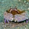 Shameface Heart Crab