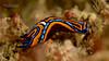 Swallowtail Headshield Slug