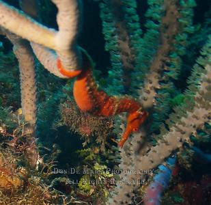 SeaHorse in Honduras
