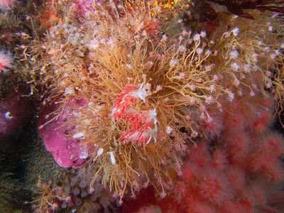 PIC_1589 - Three hungry red gilled nudibranchs (a sea slug about 10 cm long) mowing down on bushy pink-mouth hydroids which are animals with stinging cells.