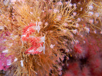 PIC_1591 - Close-up of hungry red gilled nudibranchs . The white coils in the lower left corner of the image are the red gilled nudibranchs' egg masses.
