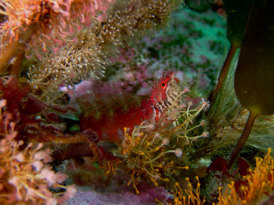 PIC_1635  - The mosshead warbonnet is about 15 cm long.