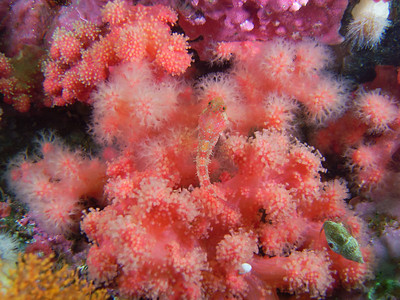 PIC_1606 - Scalyhead sculpin (10 cm)  in red soft coral, a colony of animals. Note the soft coral that has its polyps retracted.