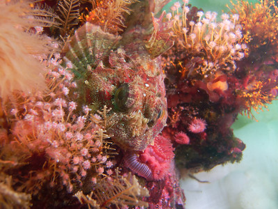 PIC_1652 - A large sculpin species, the red Irish lord amongst hydroids and brooding anemones.