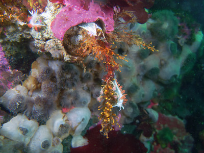PIC_1639 -Three-lined nudibranch (+/- 3 cm sea slug) feeding on colonies of animals with stinging cells (orange hydroids and bushy pink-mouth hydroids).