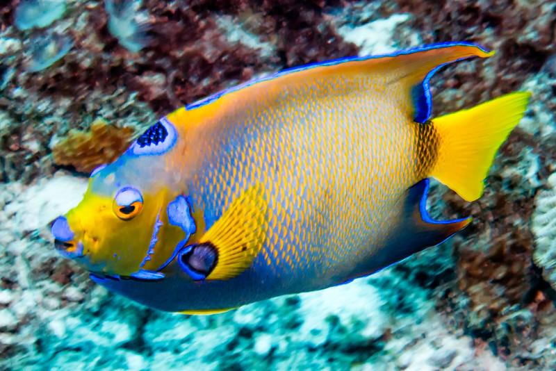 IMG_4589 Queen Angelfish