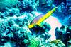 IMG_4539Spanish Hogfish