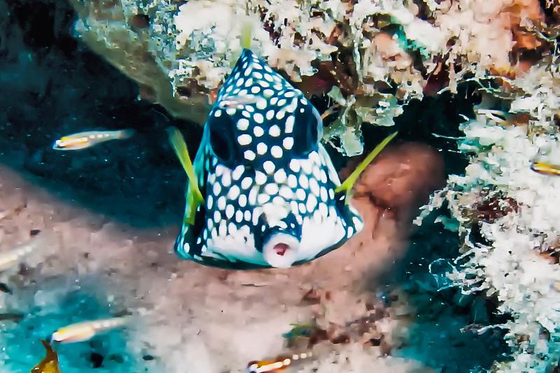 IMG_4644 Smooth Trunkfish
