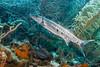 IMG_4964 Great Barracuda