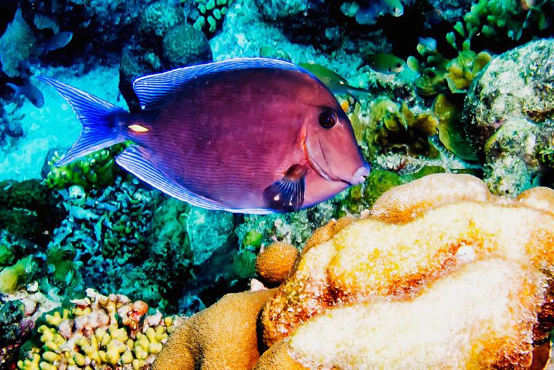 IMG_4629 Ocean Surgeonfish