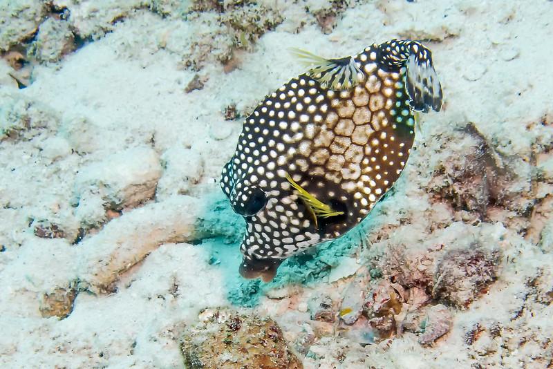 IMG_4690 Smooth Trunkfish