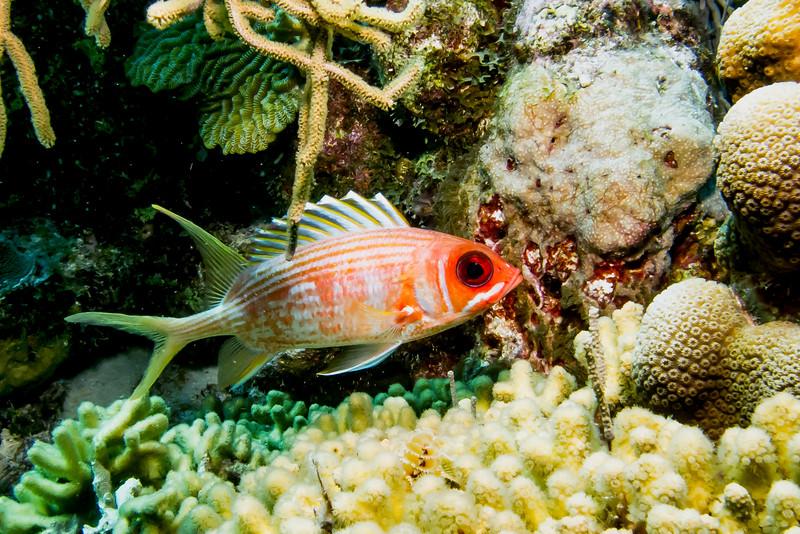 IMG_4819 longspine squirrelfish