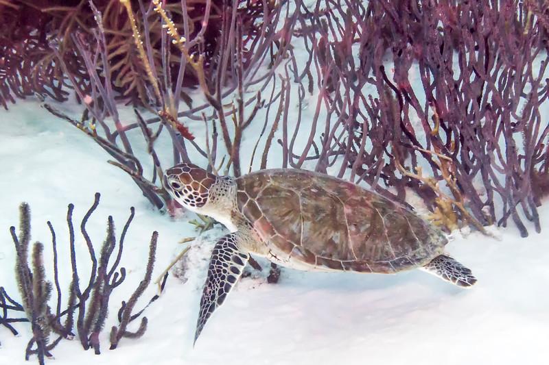 IMG_4842hawksbill turtle