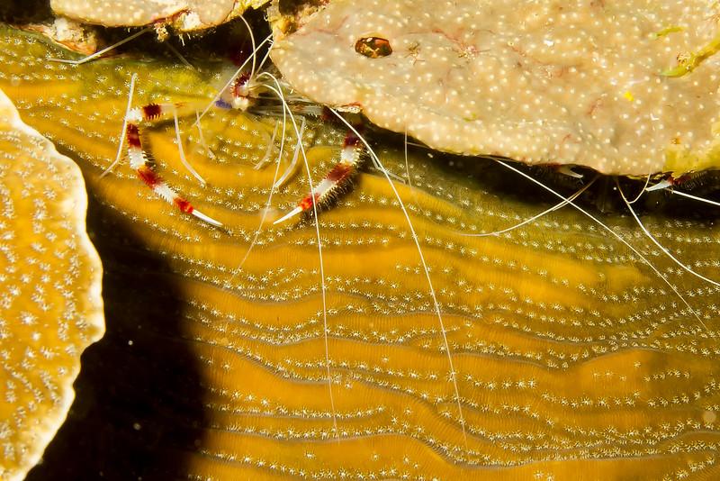 IMG_4926 Banded Coral Shrimp