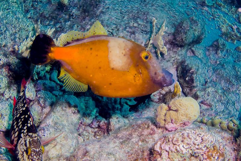 IMG_4936 Whitespotted Filefish