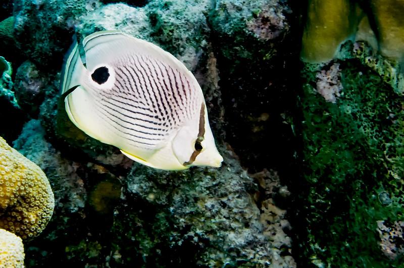 IMG_4788 four eye butterflyfish