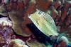 IMG_4968Honeycomb Cowfish