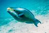 IMG_4685 Queen Parrotfish