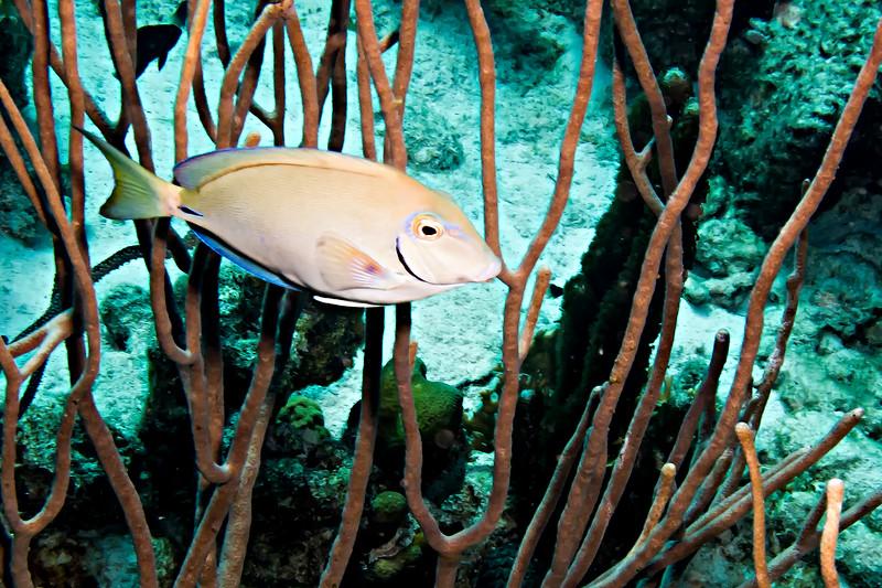 IMG_4882 Ocean Surgeonfish