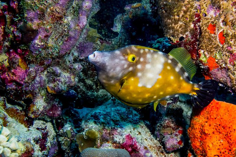 IMG_4622 Whitspotted Filefish