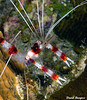 Red-BandedCoral Shrimp