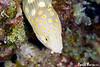 Head shot of Sharptail Eel