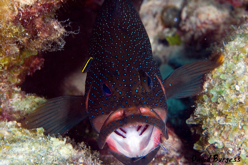 Grouper at Cleaning Station
