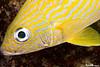 Gold Stripe Fish