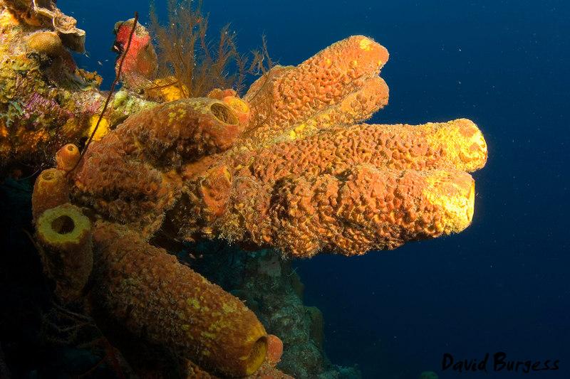 Orange Tube Coral