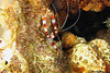 Red-Banded Coral Shrimp