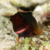 Red-Lipped Blenny