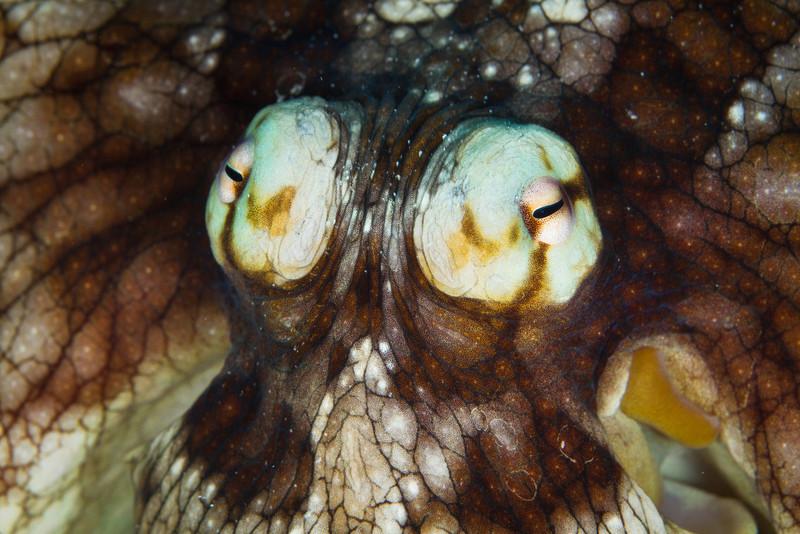 Eyes of a Octopus