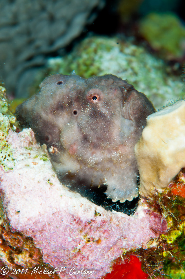 Camouflaged frogfish