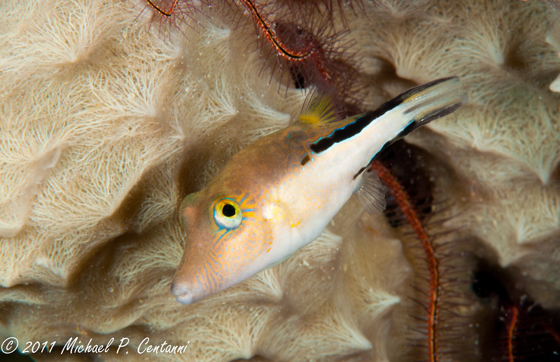 Sharpnose Puffer in Coral head
