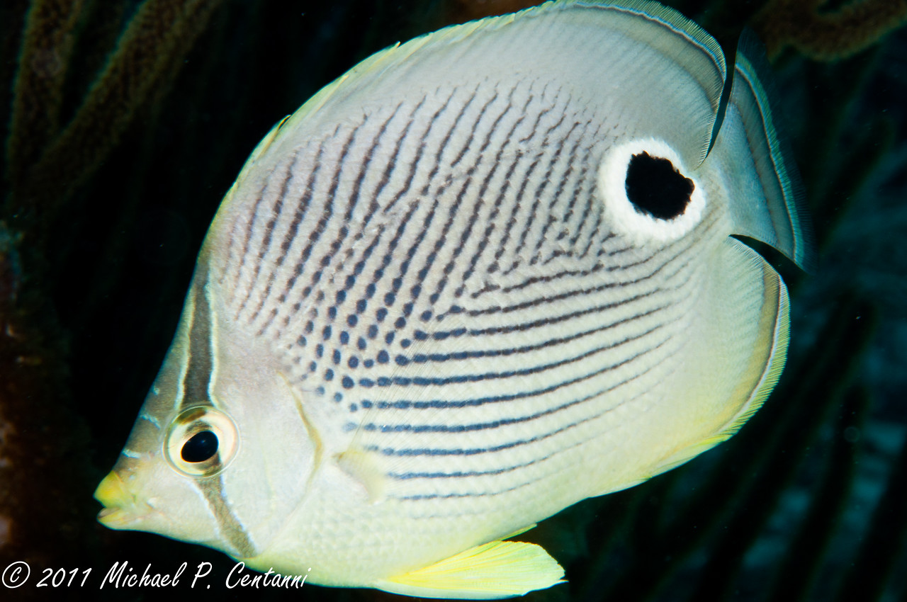 four eyed butterfly fish