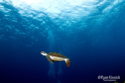 Hawksbill turtle swimming in the blue