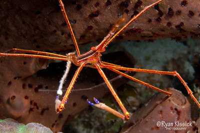 Close-up shot of arrow crab