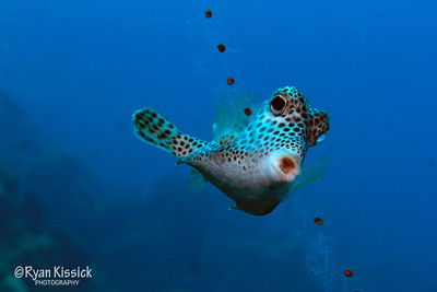 Trunkfish eating a salp