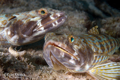 Pair of lizardfish