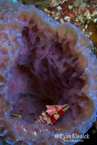 Small goby and hermit crab inside of a sponge. I think they are friends!