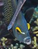 French Angelfish; Trumpetfish