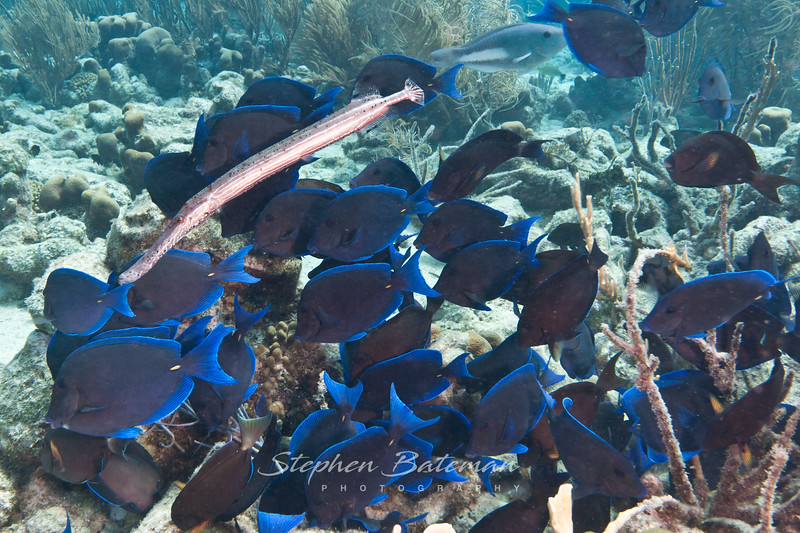 Blue Tangs feeding