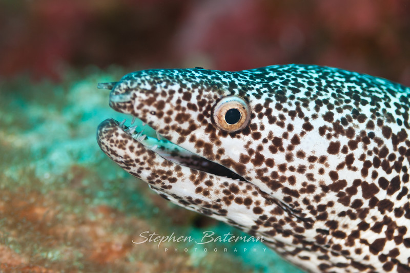 Spotted Moray