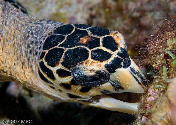 Feeding sea turtle on Capt. Don's Reef, Klein Bonaire