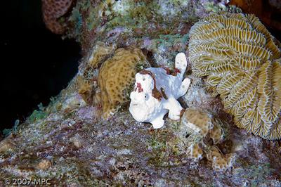 Frogfish at Mi Dushi, Klein Bonaire