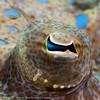Peacock Flounder Eye